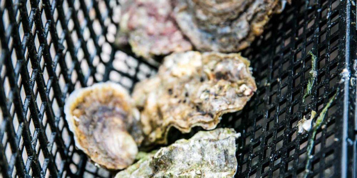 Handplockade ostron av Klemmings Ostron från Grebbestad i Bohuslän