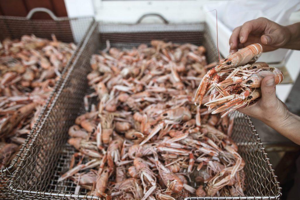 Nykokta havskräftor plockas upp av kock på Västkusten